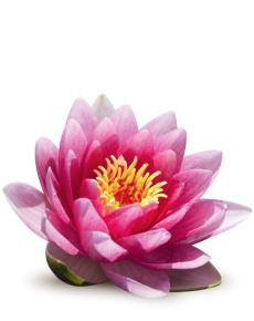 lotus flower front Reflexology for Detox